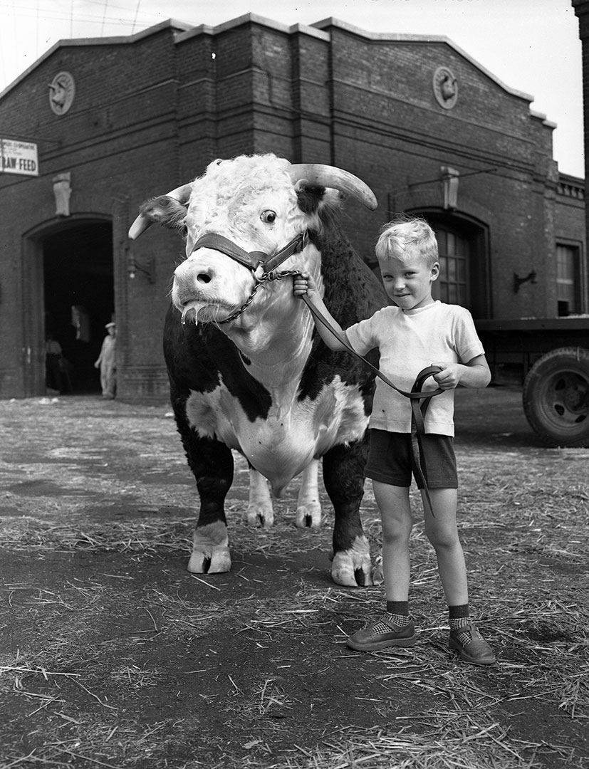 Boy Meets Bull ca. 1950s