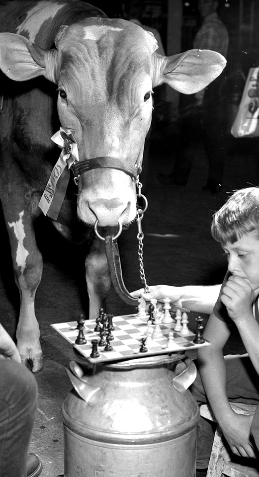 Jersey Cow Overseeing Chess Game, 1960s