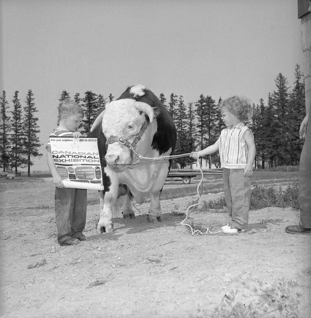 Children Bonding With Hereford Bull  and  CNE Programme, 1960
